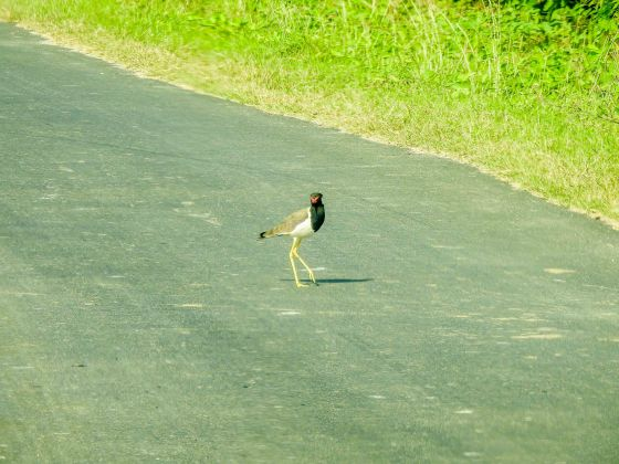 red wattled lapwing from afar