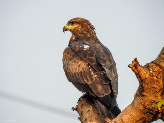and on a low tree this very common but nevertheless impressive pariah or black kite...
