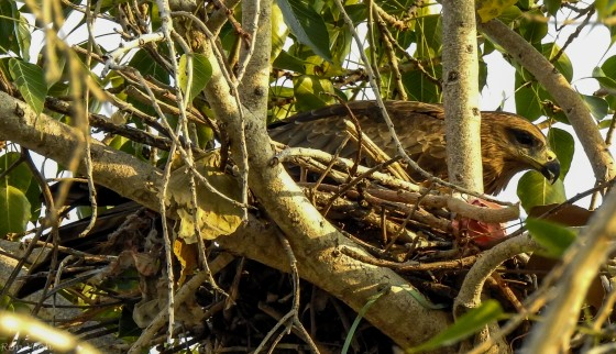 resting on her nest
