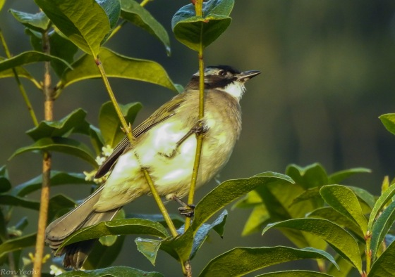 The Light vented bulbul is the most common bird around...