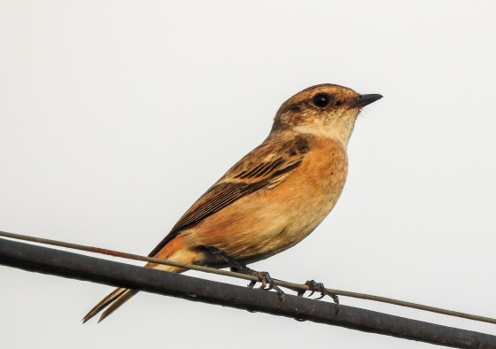 And I'm informed by Nishant that this is a femaleSiberian Stone Chat