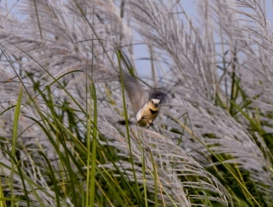 In a flurry of action, this unidentified bird disturbed the reeds