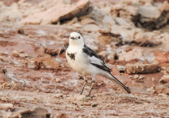 this rather smart white wagtail strutted his stuff