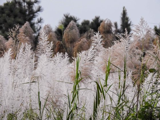 pretty reeds...