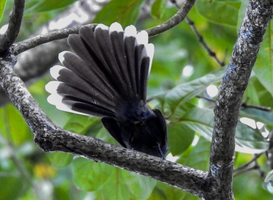 As usual, I have my famed 'ass' shot of the fantail fanning its tail :)