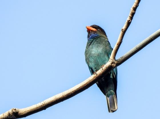 then...another common bird of Bidadari, the dollar bird...