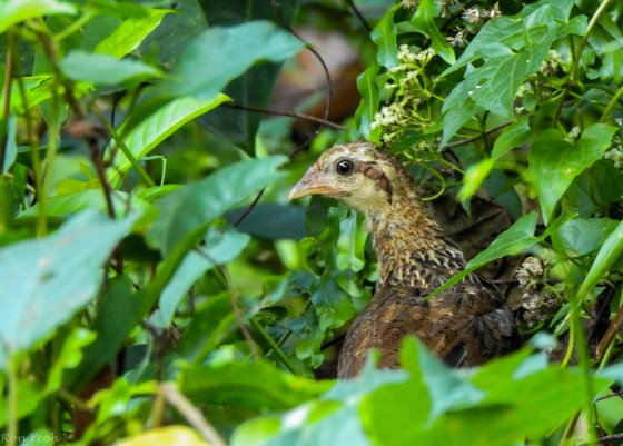 it was a female red jungle fowl with a couple of chicks...very shy, they disappeared rapidly as I approached...