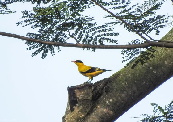 and from a distance, the very common but nevertheless pretty black naped oriole found a pedestal