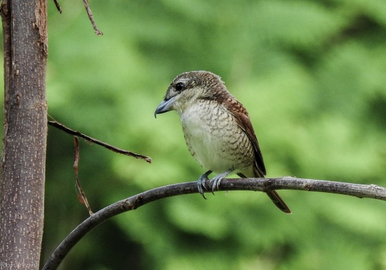 and then one of the star birds of the morning...the beautiful tiger shrike...