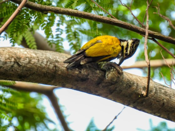 and just before I left, the female common flameback woodpecker appeared high up...