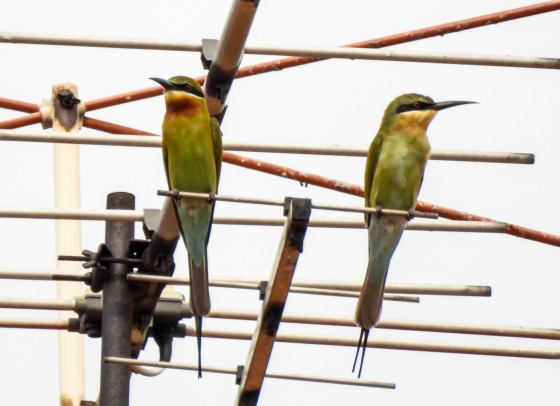 I sensed it was going to be a good day when this pair of blue tailed bee eaters appeared above where I parked my car in Jalan Rindu