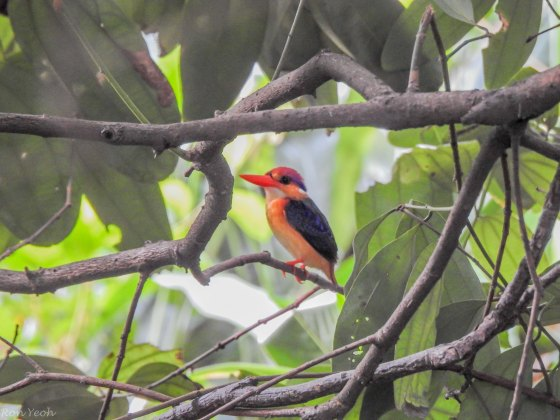 The second target bird was the oriental pygmy or black back kingfisher...small elusive but delightful.