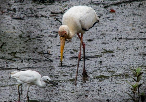 milky stork and egret
