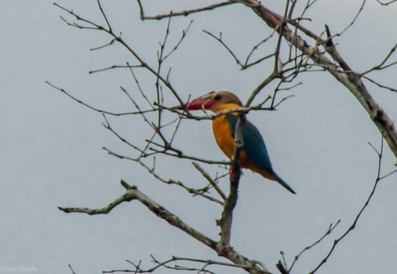 stork billed kingfisher (1)