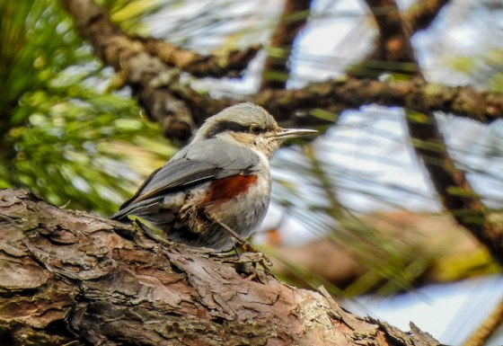 chestnut-vented-nuthatch