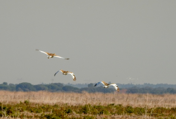 little bustards in flight