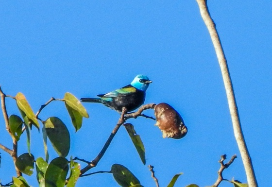 blue necked tanager (2)
