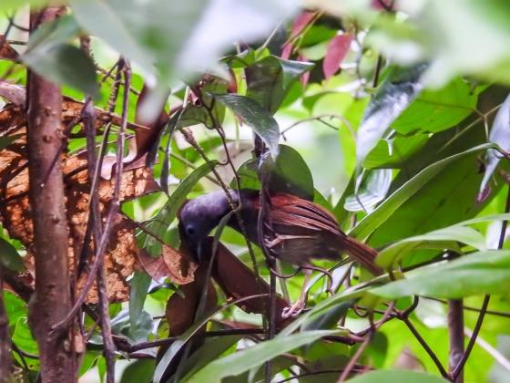 chestnutwinged babbler
