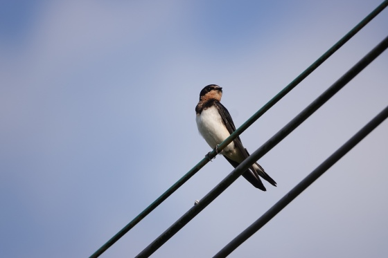 DSC00176-Barn Swallow