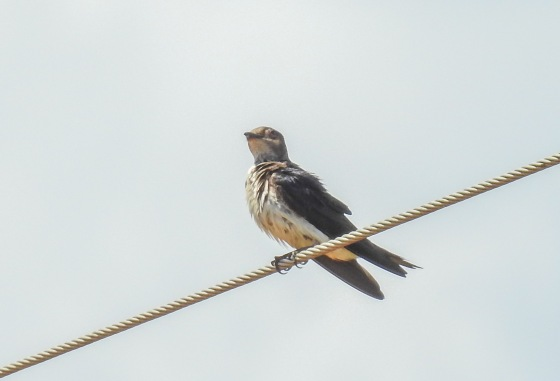 brown chested martin