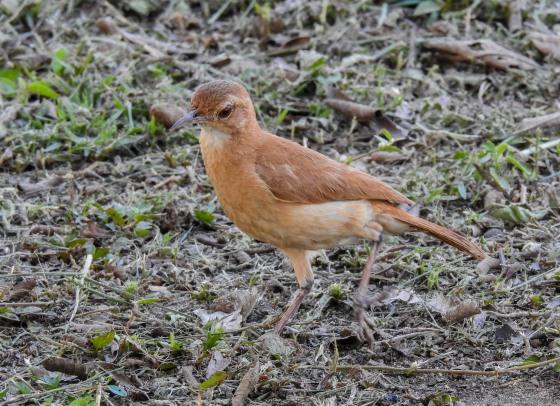 Rufous hornero (2)