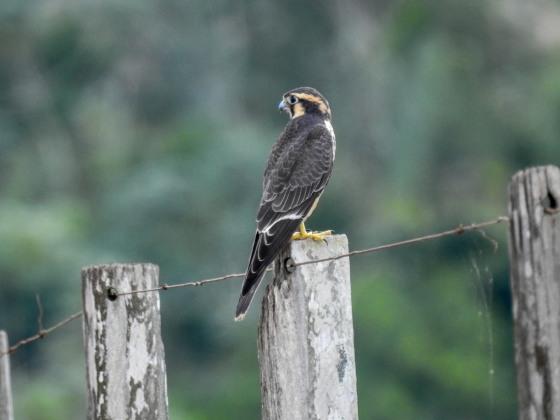 Aplomado Falcon (2)