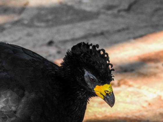 bared faced currasow