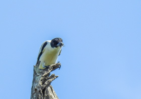 black crowned tityra (2)