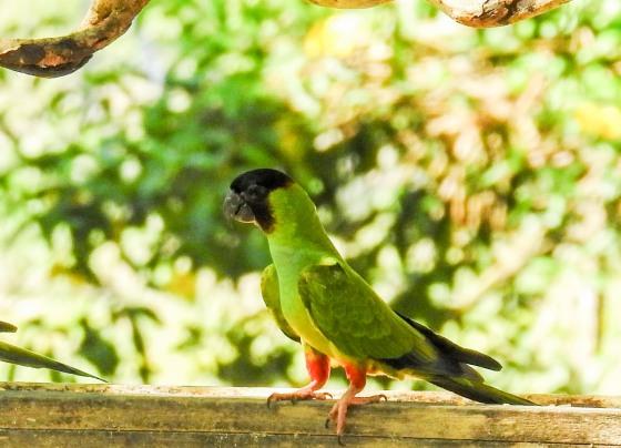 Black hooded parakeet