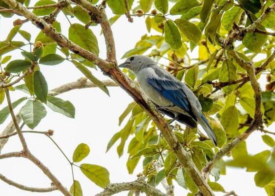 blue-gray tanager (3)