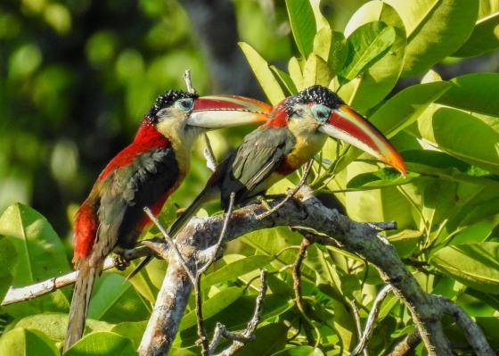 curl crested aracari (2)