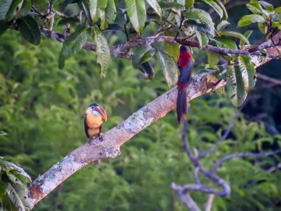 curl crested aracari (3)