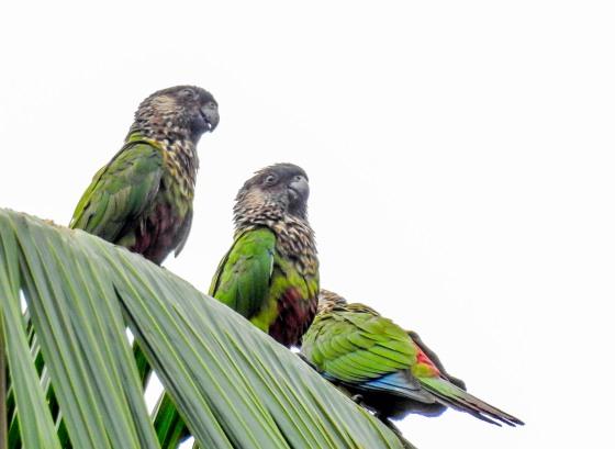 madeira parakeet