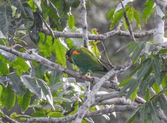 orange cheeked parrot (2)