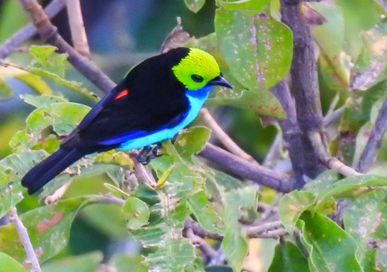 paradise tanager (2)