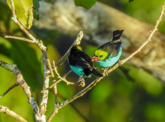 paradise tanager (3)