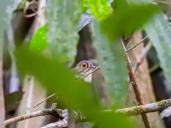 spotted antpitta (2)