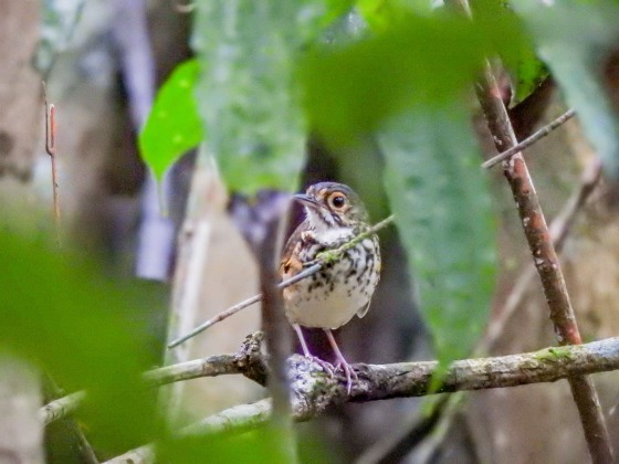 spotted antpitta (3)