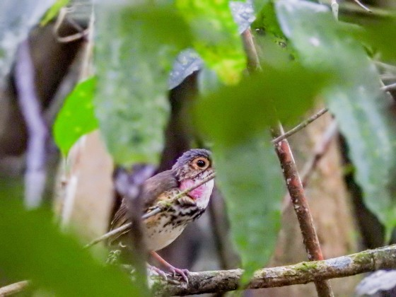 spotted antpitta (4)