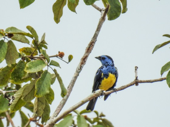 turquoise tanager (2)