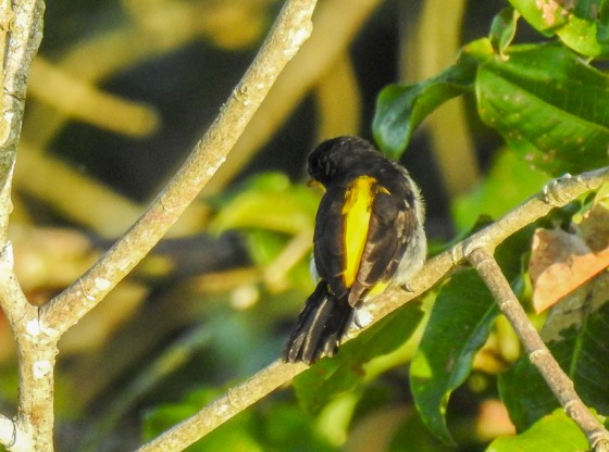 yellow backed tanager (3)