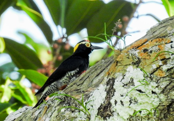 yellow tufted woodpecker (2)