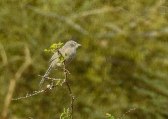 Arabian warbler (2)