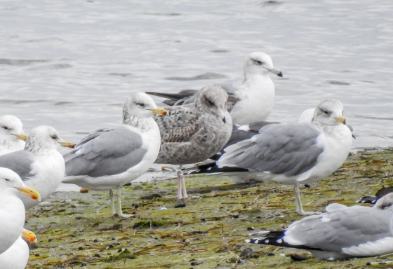 california gulls with first winter gull