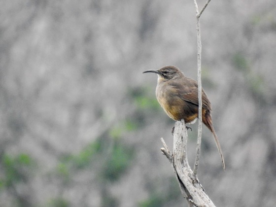 California Thrasher (2)