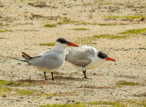 Caspian tern and chick (2)