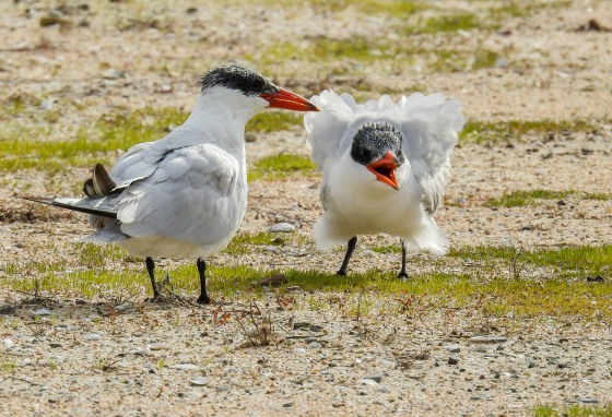 Caspian tern and chick