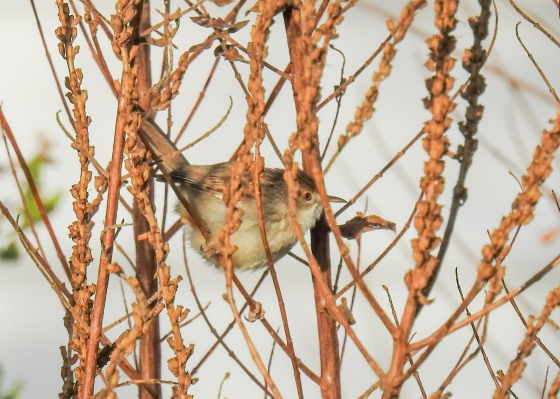 graceful prinia (3)