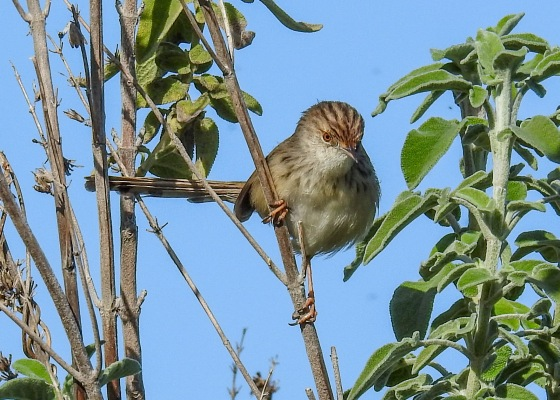graceful prinia (5)