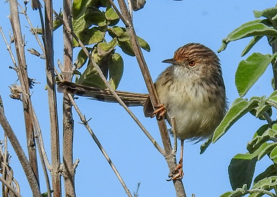 graceful prinia (6)